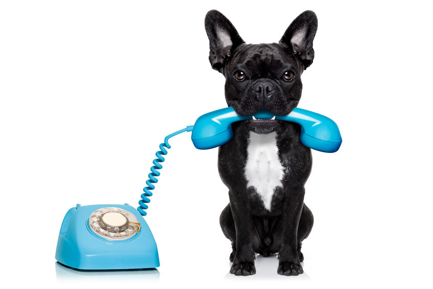 37165619 - french bulldog dog on the phone or telephone in mouth, isolated on white background